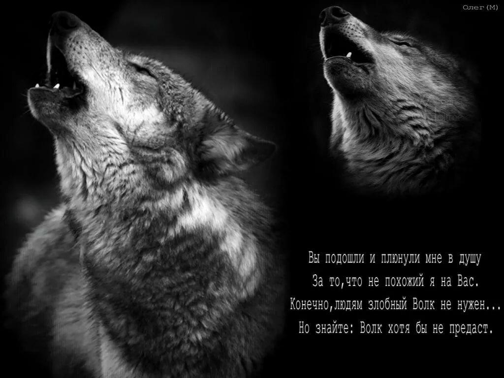 Цветами тюльпаны, душа волка открытка