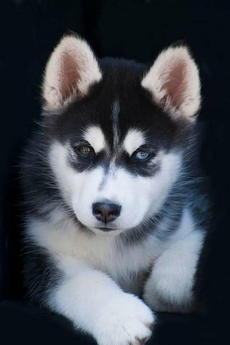 huskies 68 61 gliac win - 736×1104