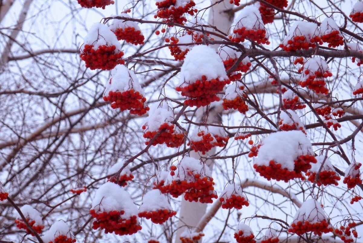 красивое фото рябина в зимнем лесу используют