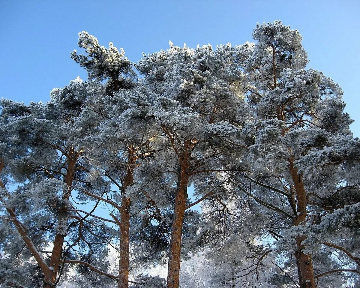 Зимняя сосна картинки