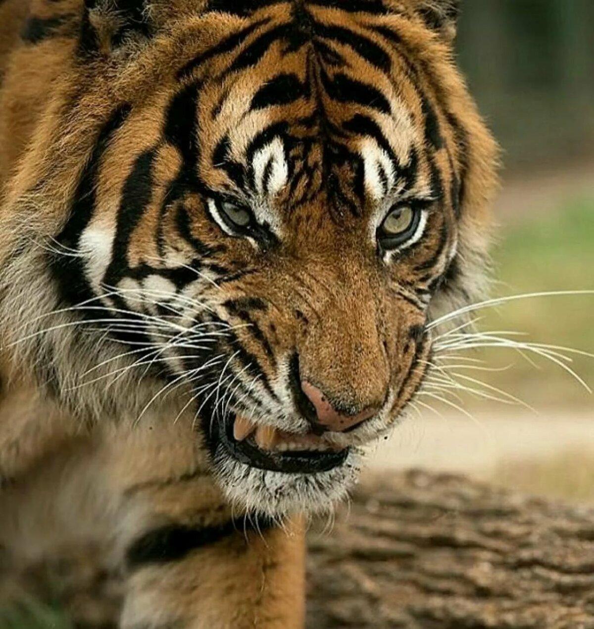 цельвегера картинки тигров рычать вопрос волнует