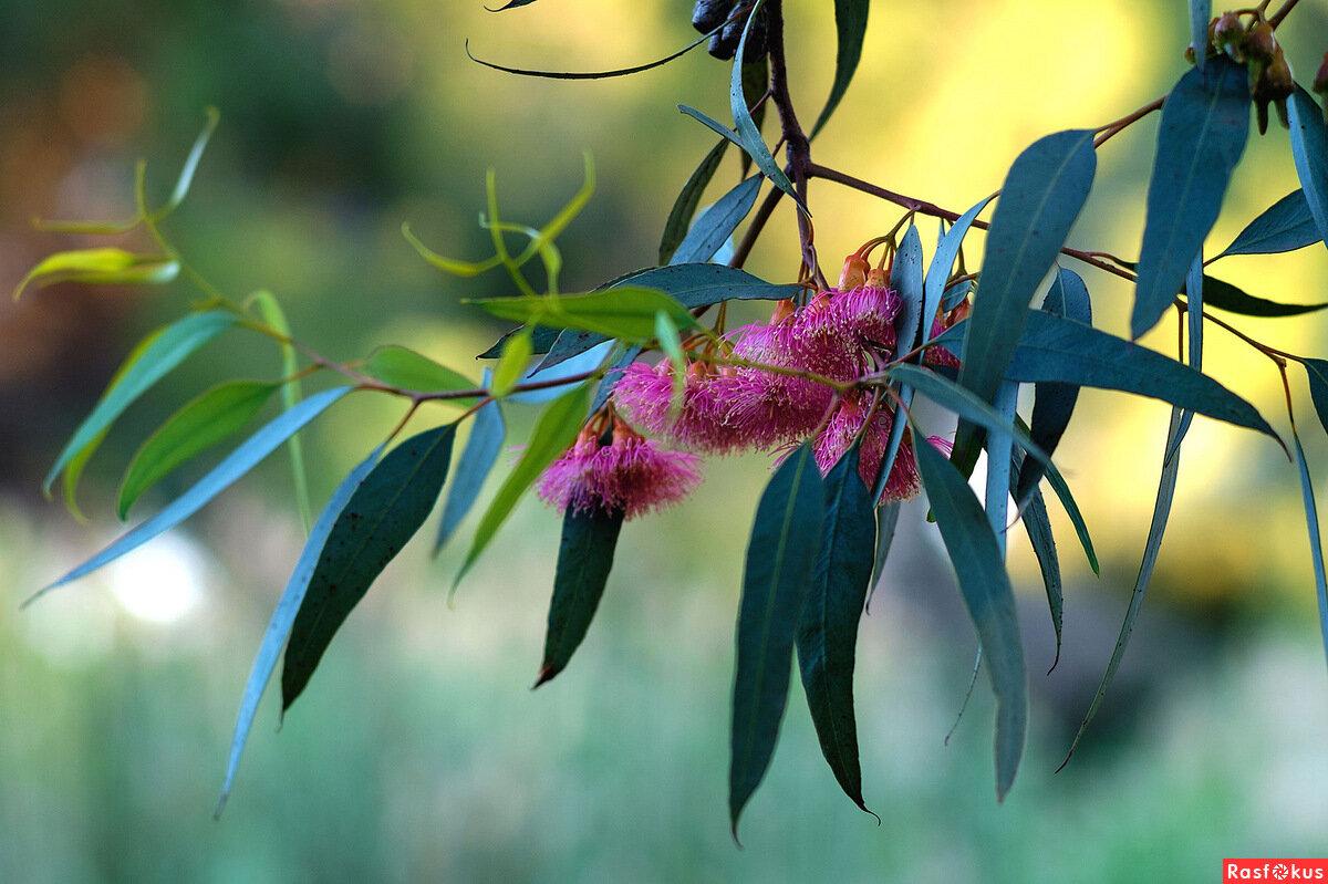 Цветок эвкалипт в картинках
