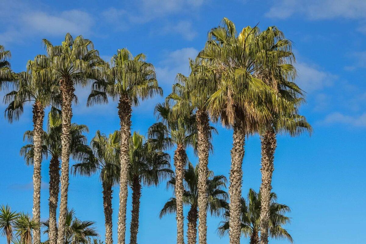 Пальмовое дерево фото