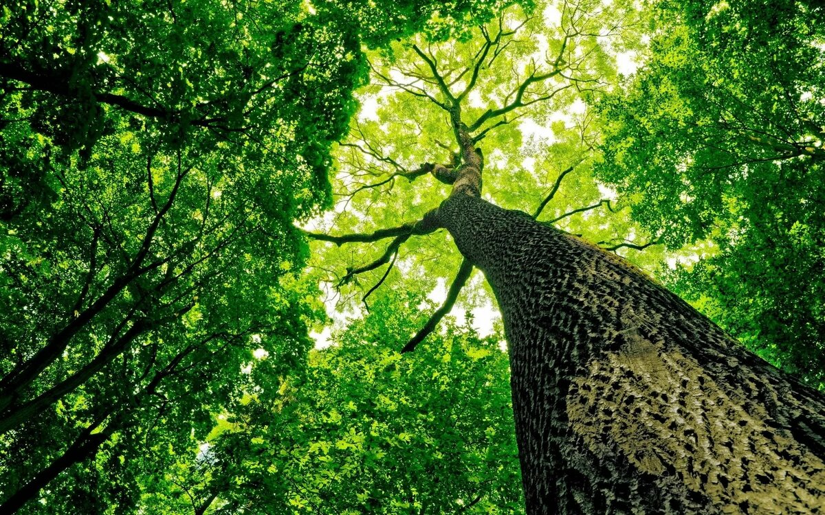 Открытку, картинки крона дерева