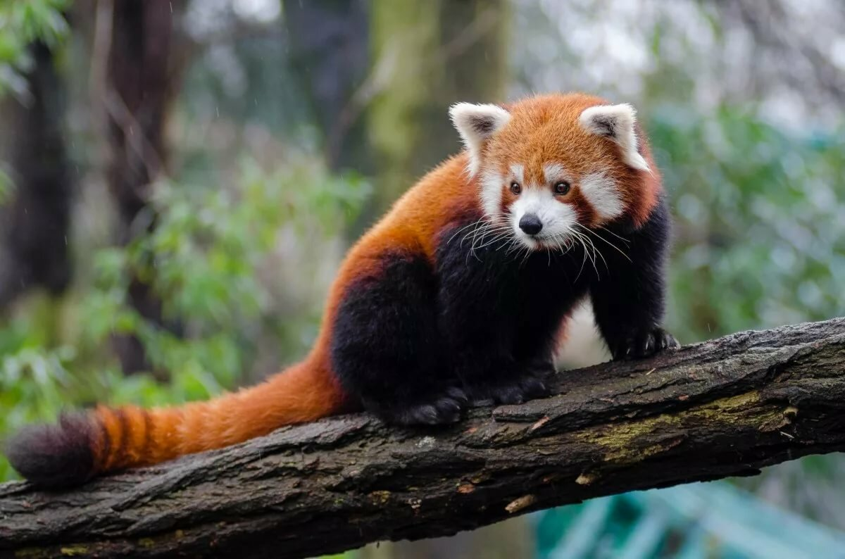 Картинки панды оранжевые
