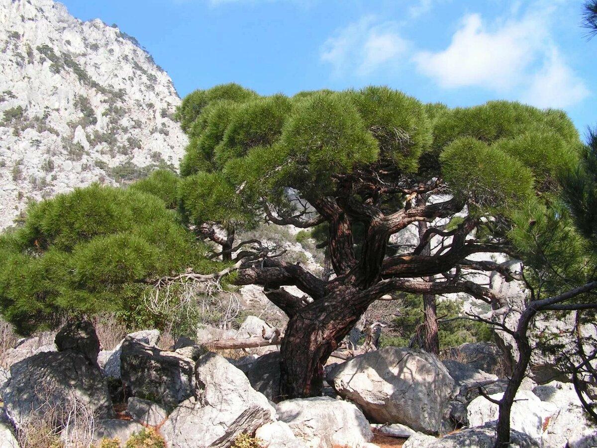 тис дерево фото в крыму бандура