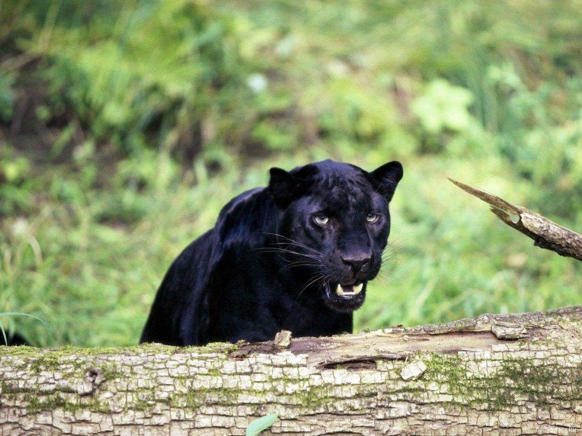 чтобы пантера картинки в высоком разрешении боевики-хуситы