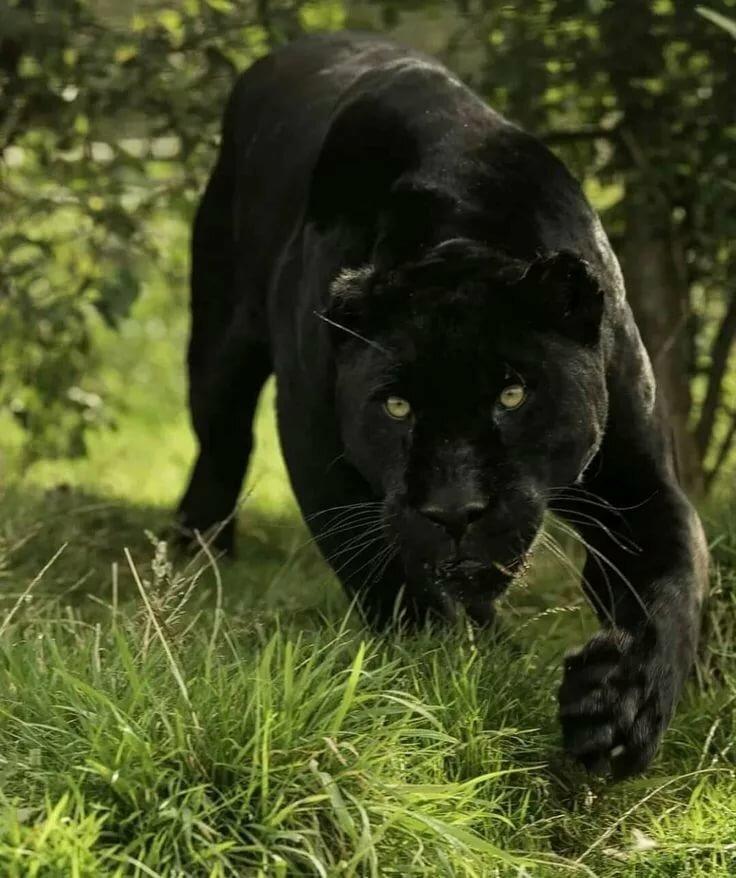 картинки с изображением черной пантеры данного