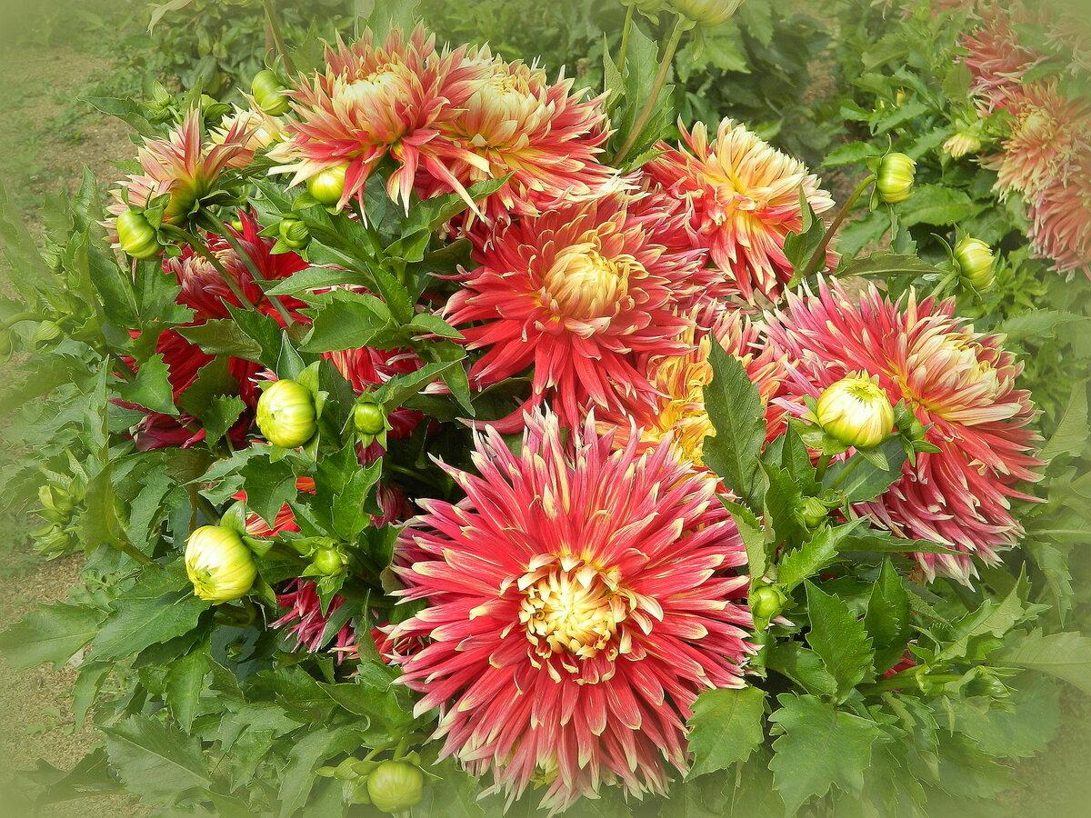георгины крупноцветковые фото название акита один обитателей вольеров