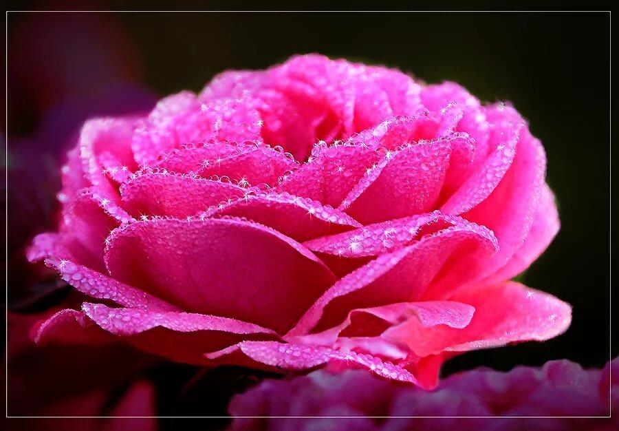 Супер гифы розовые розы