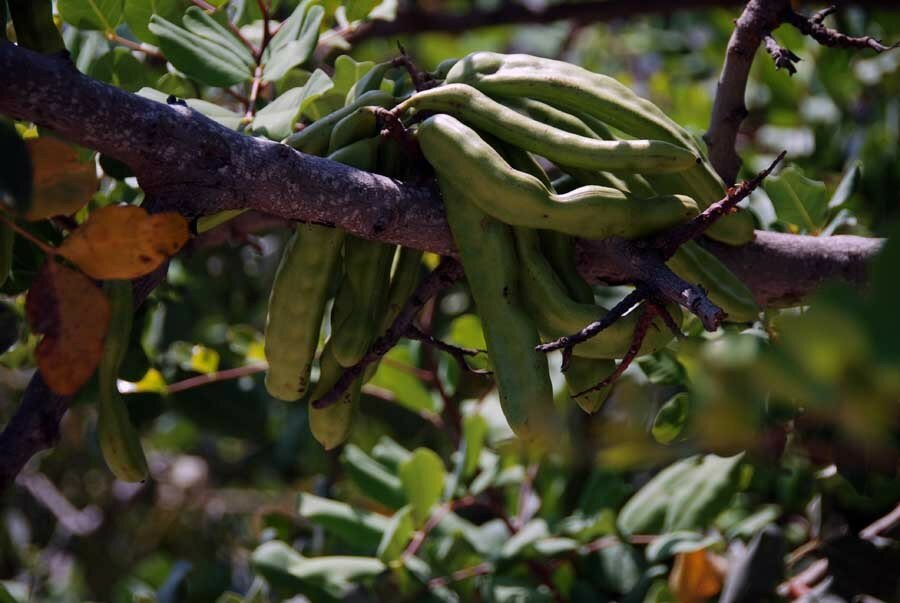 рожковое дерево фото и описание если проанализировать самые