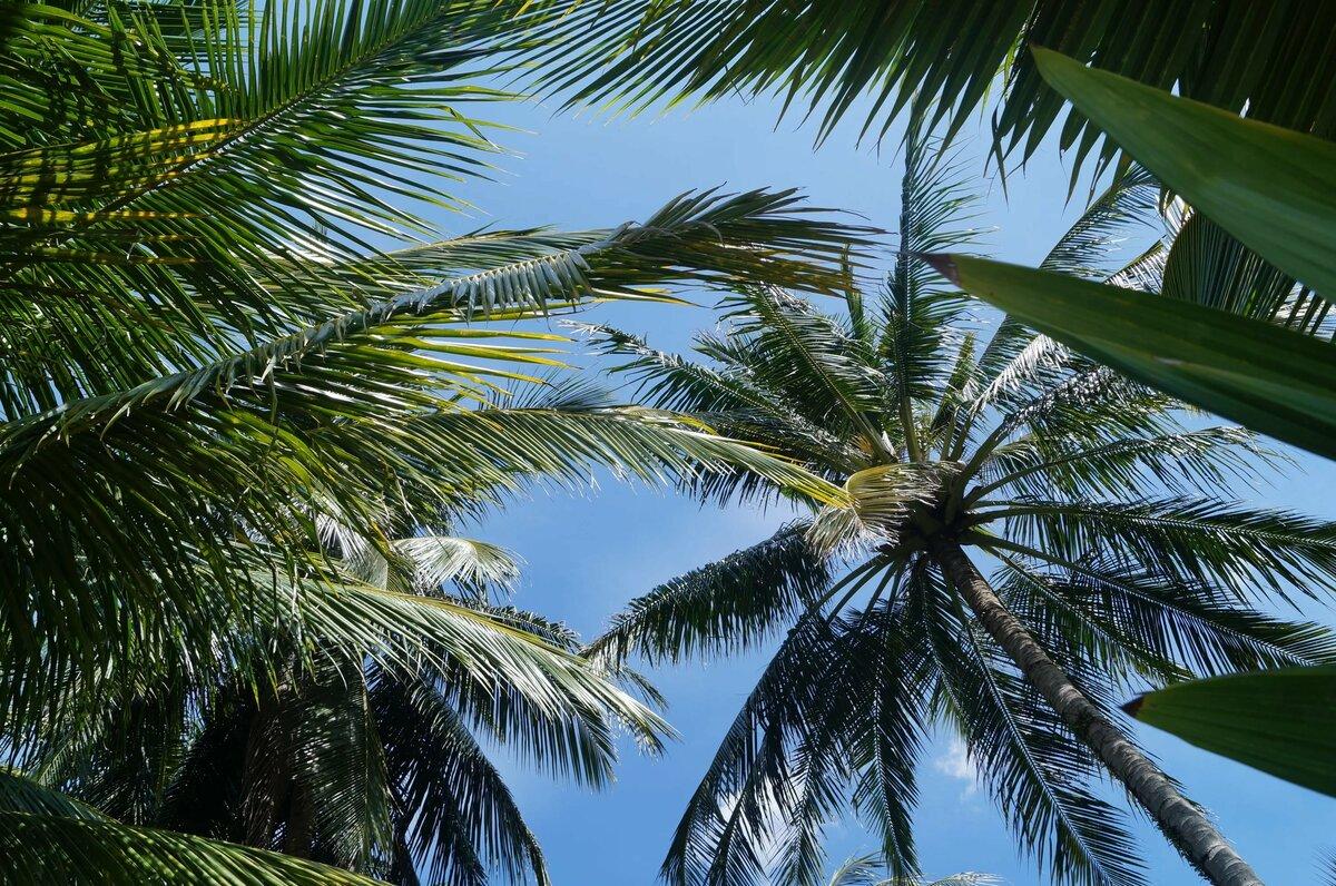 ходу, длинные картинки пальмы создают талантливые мастера