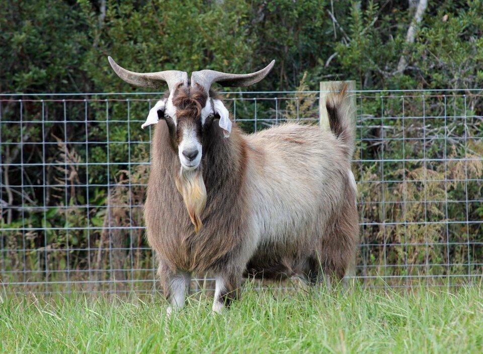 Породы коз с картинками