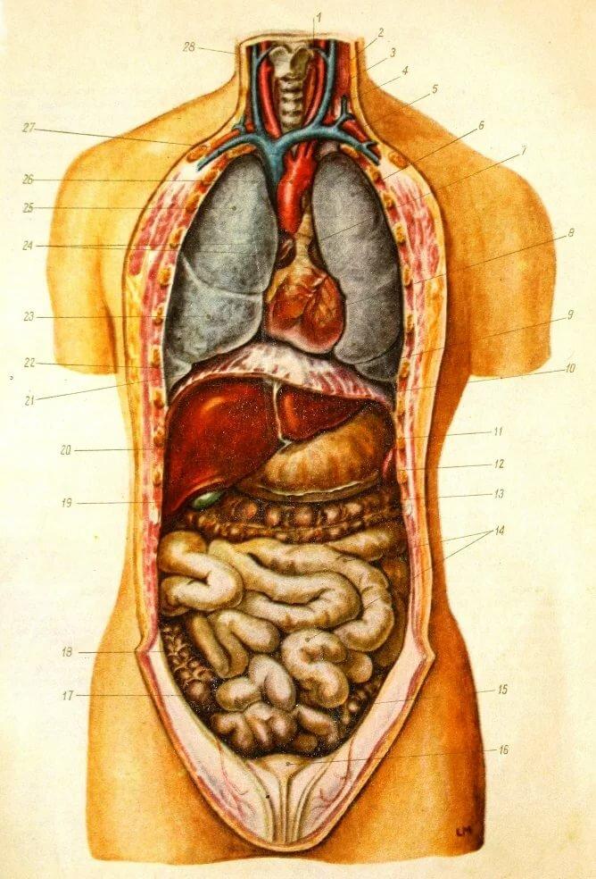 Внутреннее строение органов в картинках