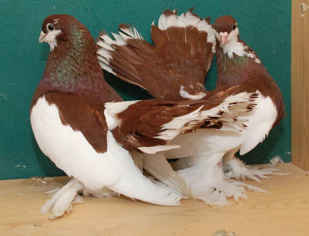 Краснодарская порода голубей показать картинки