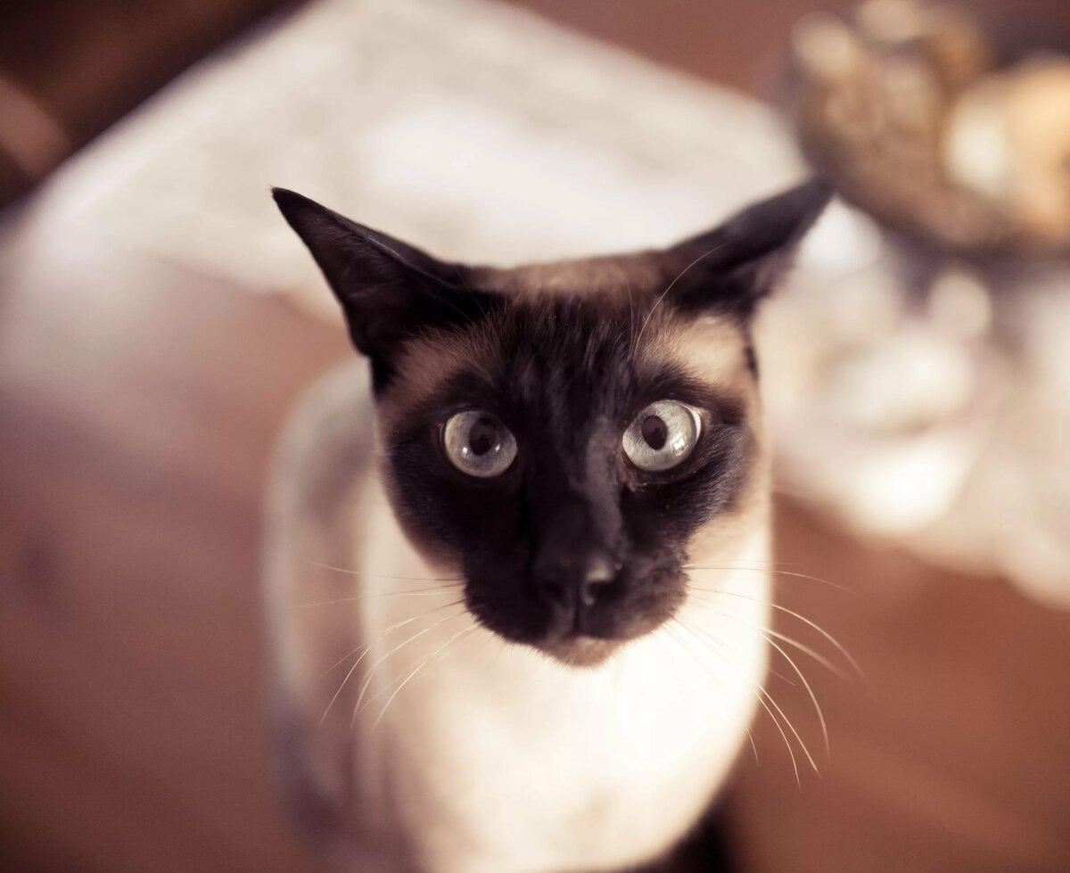 Прикольные сиамские коты картинки, пепси крутые