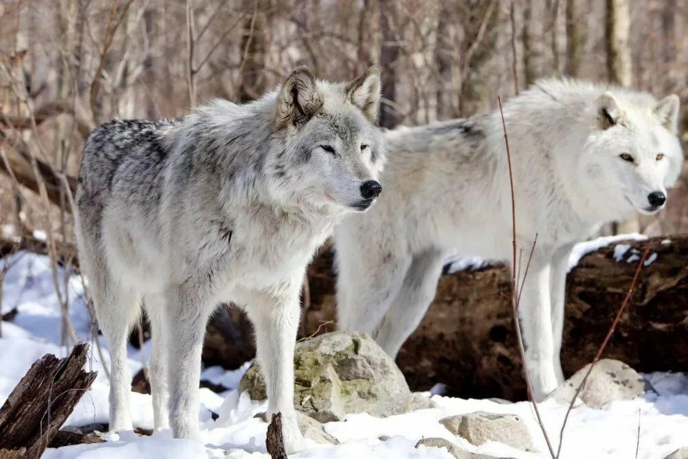 Картинки белый волк, про любовь