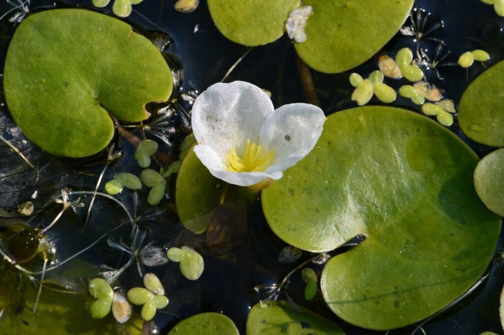 Растения пресных вод фото и названия