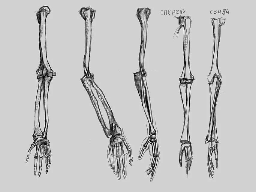Картинка кости руки