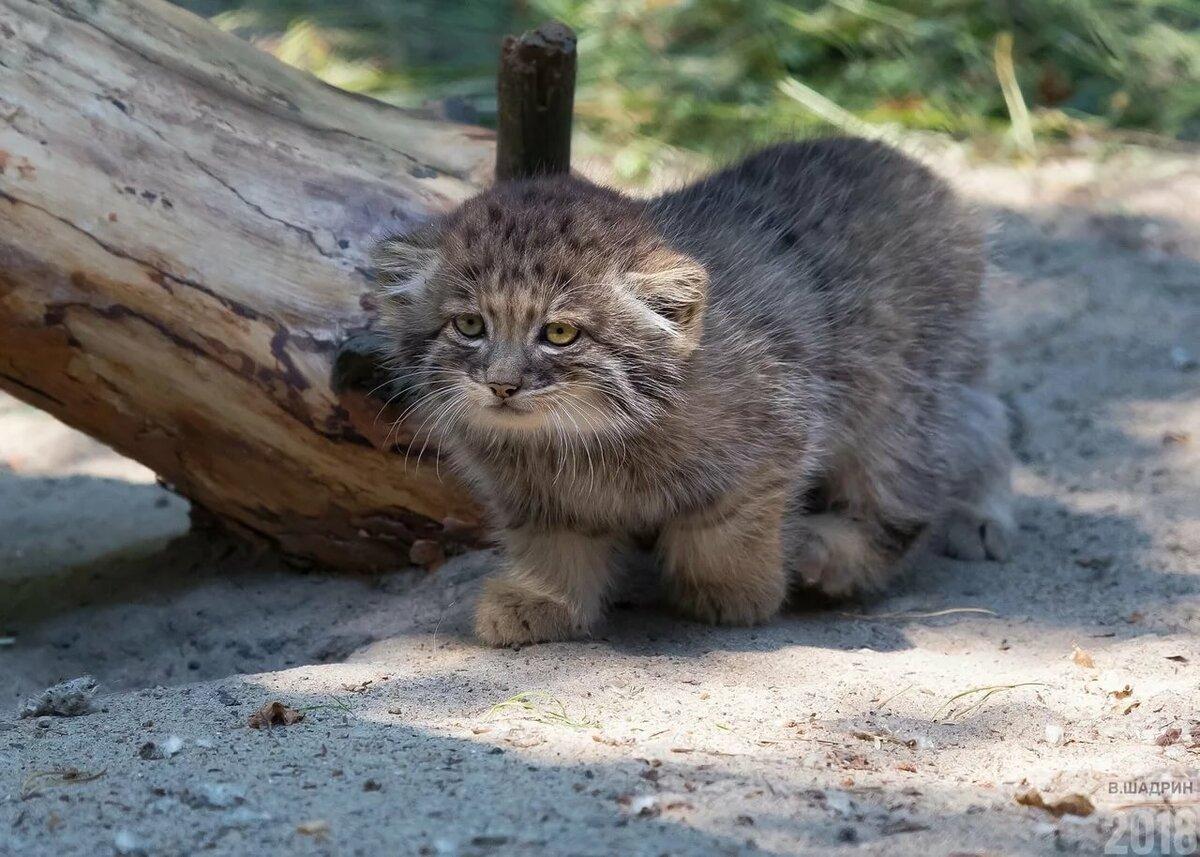 Манул котенок дома фото