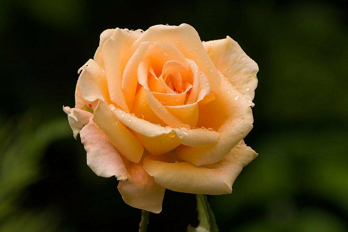 Картинка с цветами розами, картинки новый