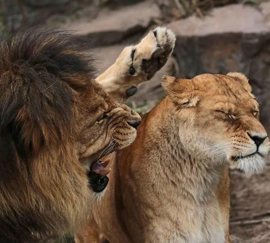 Картинки лев приколы, рудольфом открытки выпивкой