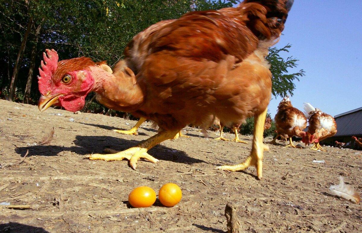 Дать курице отдохнуть картинка
