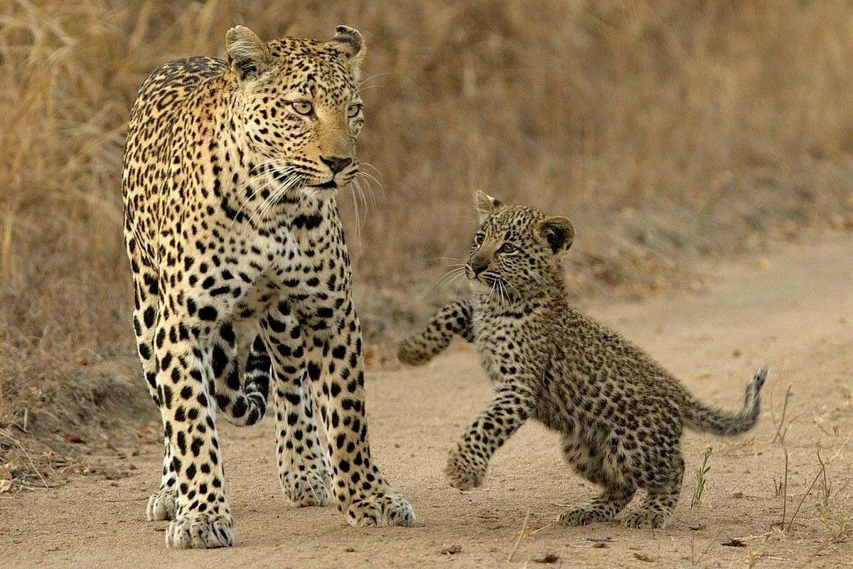 Картинки детеныша леопарда
