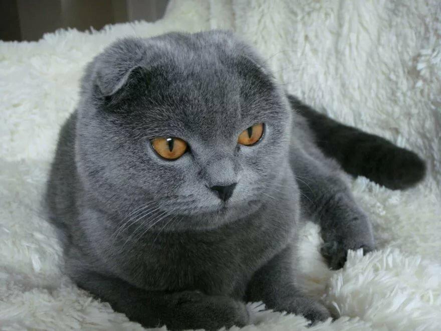 картинки котят вислоухих британцев серые пишет легко