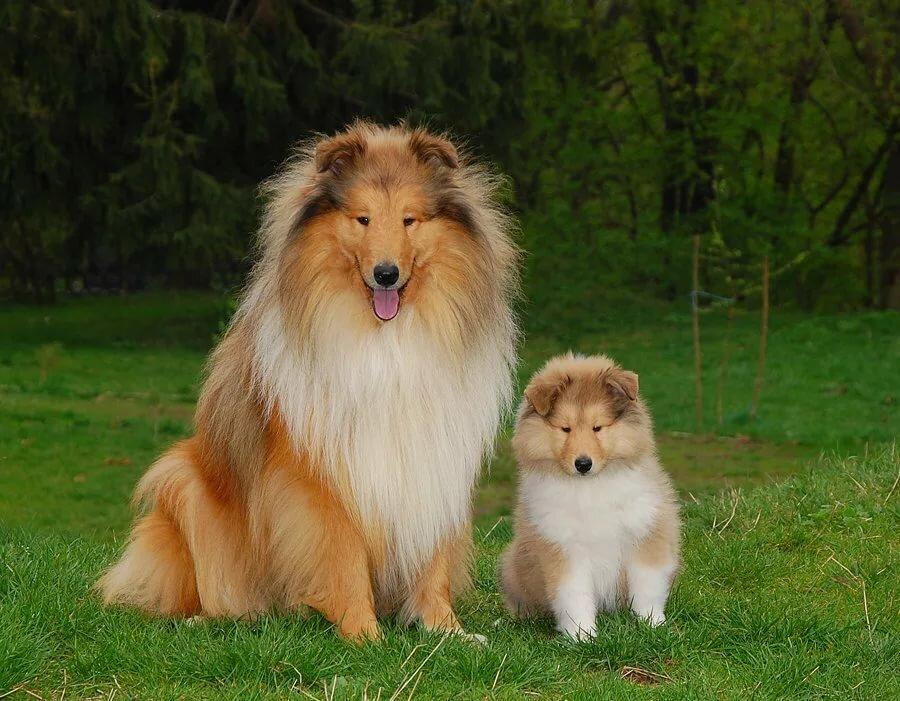 Днем, картинки собаки колли