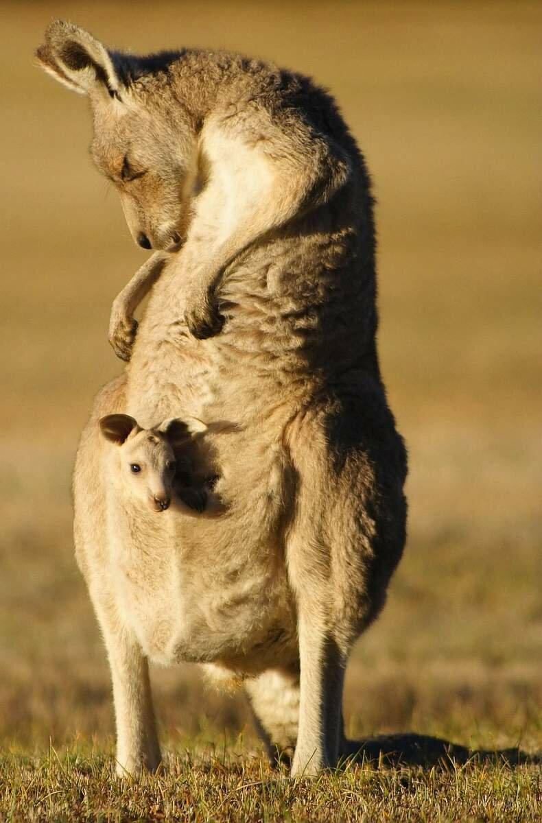 картинка с кенгуру с малышом и мамой все еще, темный