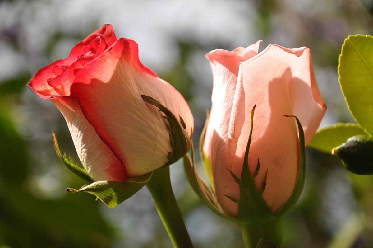красивые картинки бутонов роз