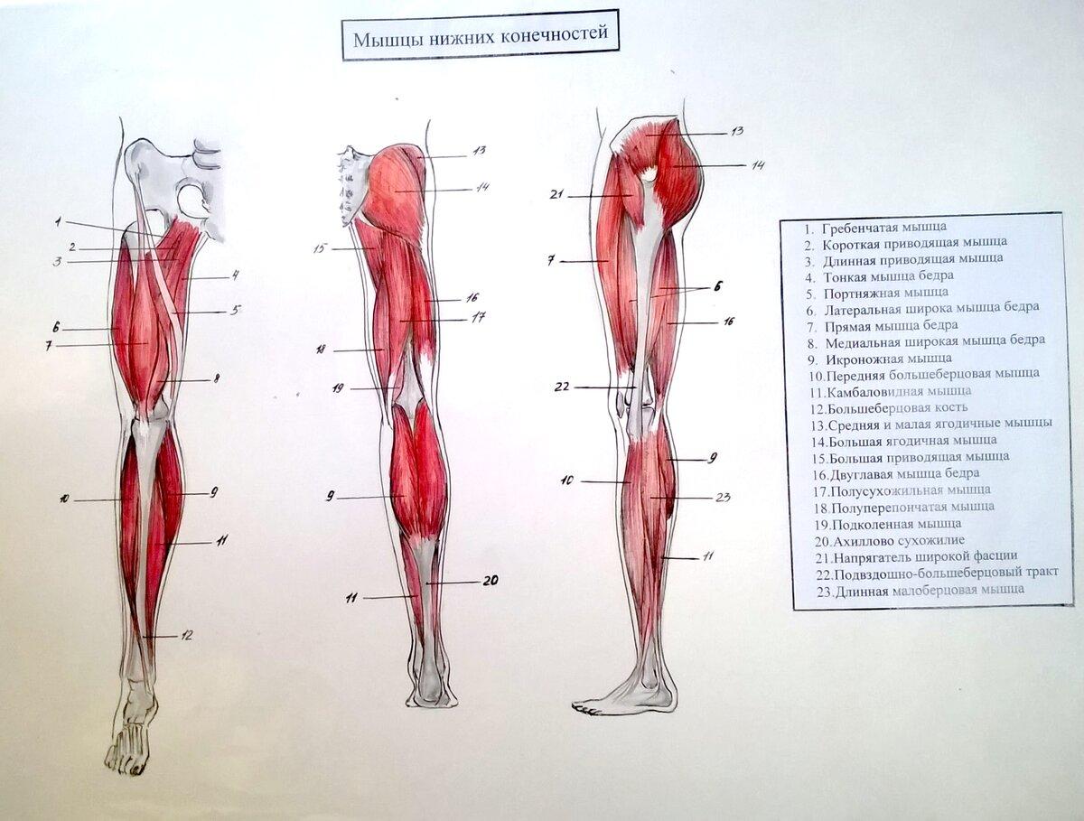 плюс названия мышц ног с картинками мировую популярность