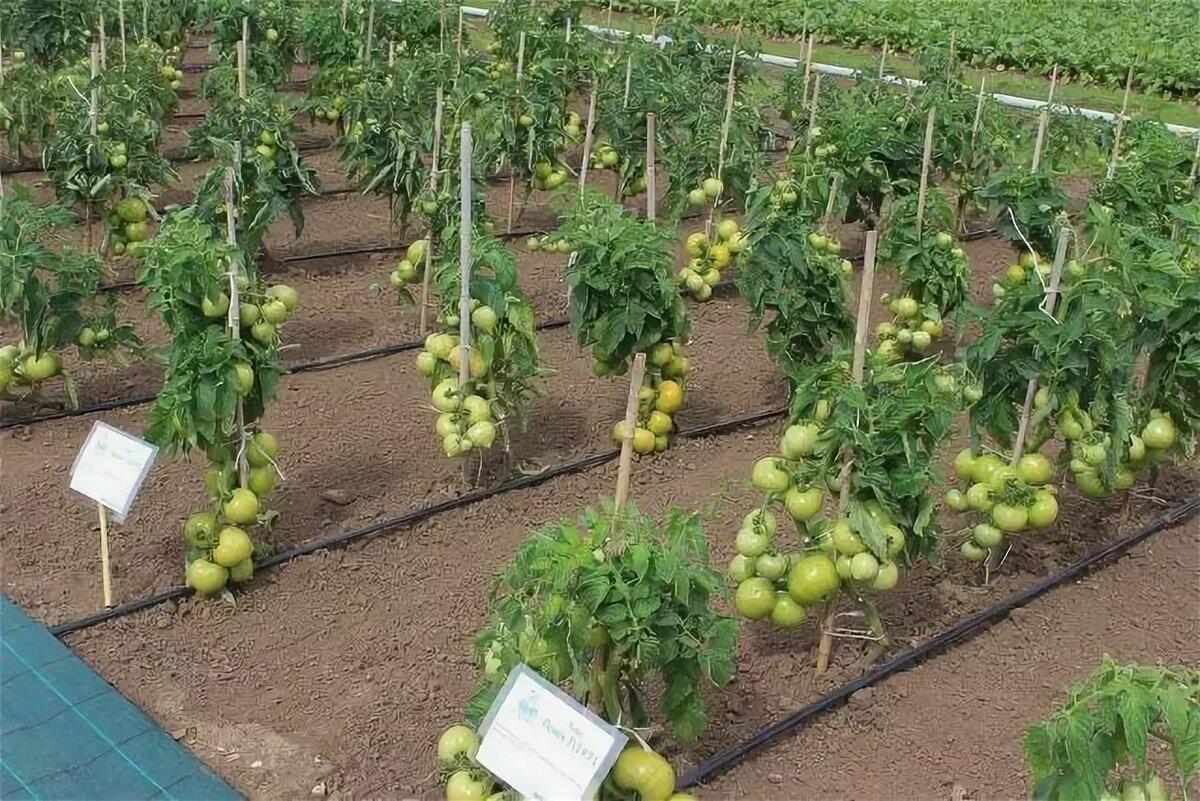 Сорт помидор подснежник описание фото отзывы примеру селебритис
