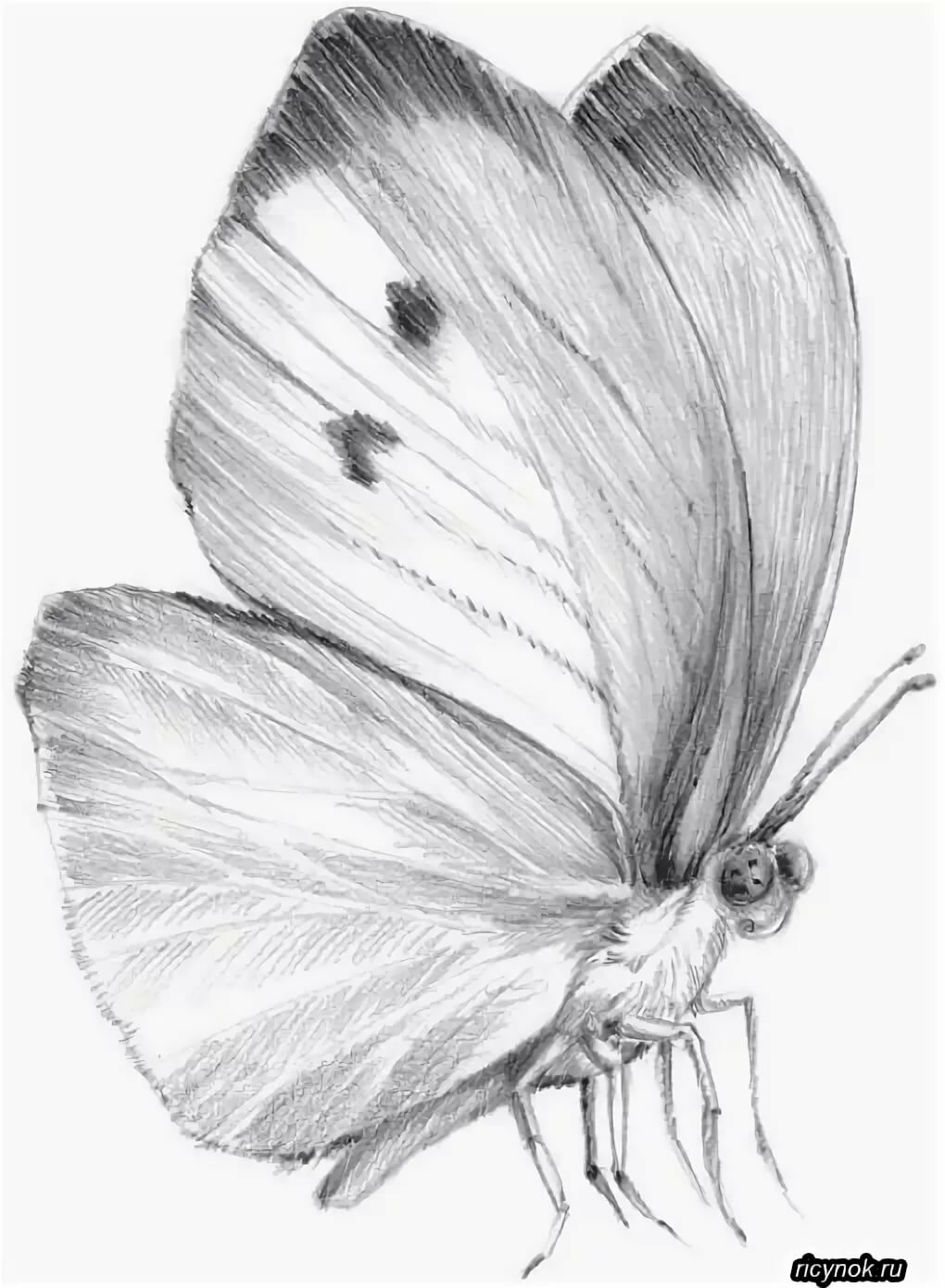 Рождения, бабочки рисунки карандашом картинки