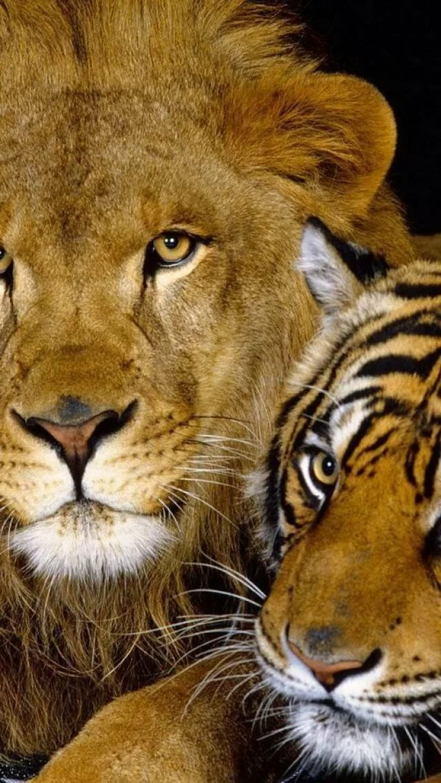 Картинки о тиграх и львах