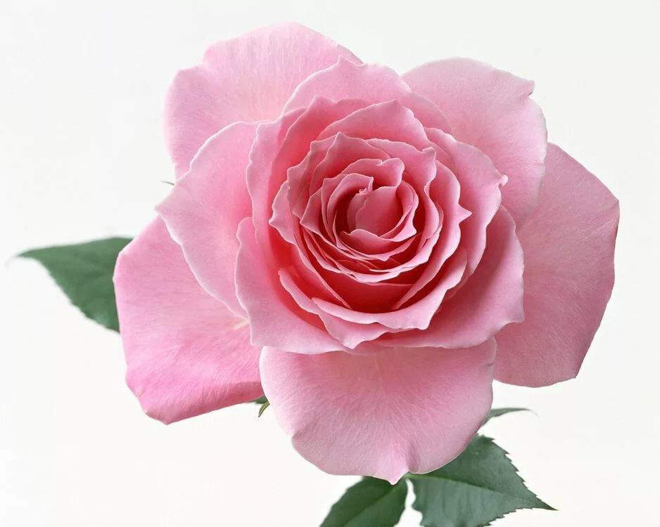 Кристина днем, картинка цветы роза