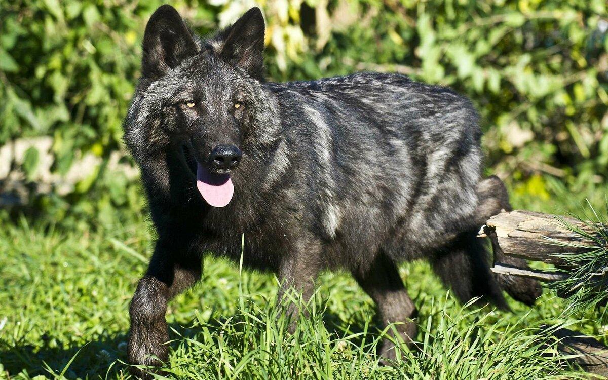 фотографии черных волков материалы подобраны расчетом