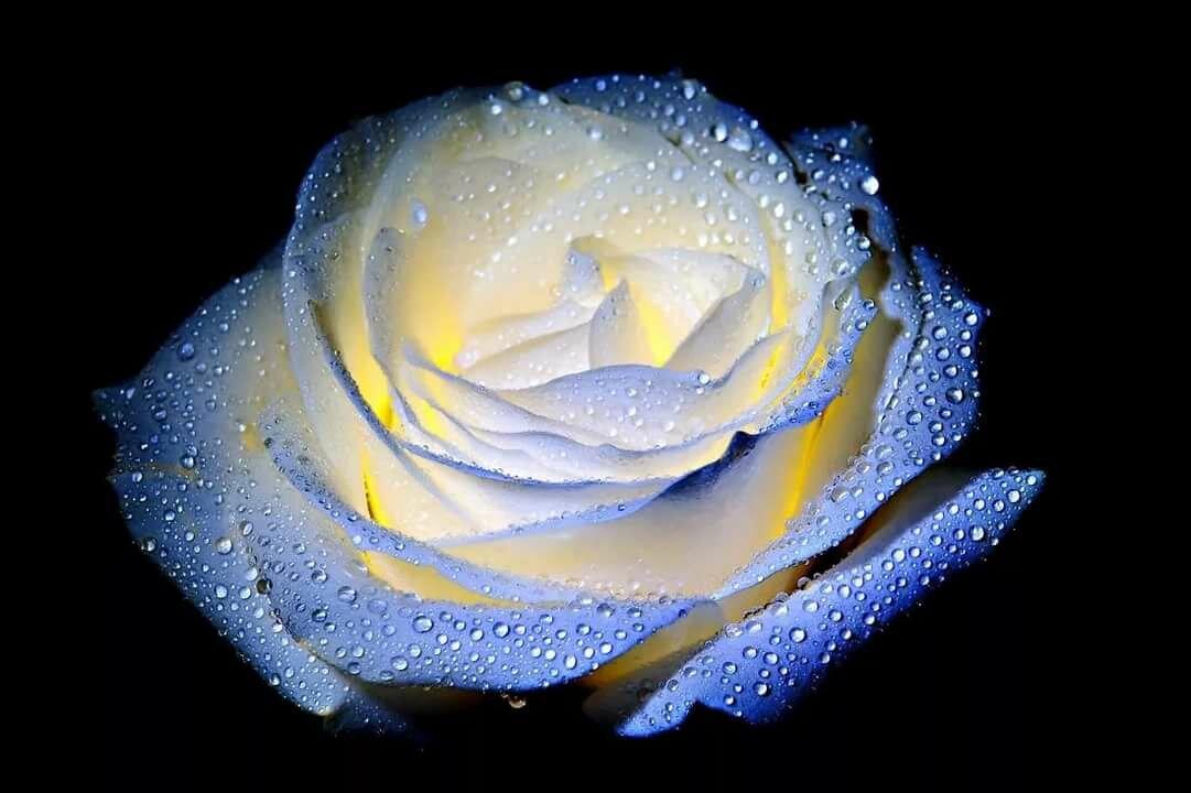 Картинки блестящие розы, маленькой