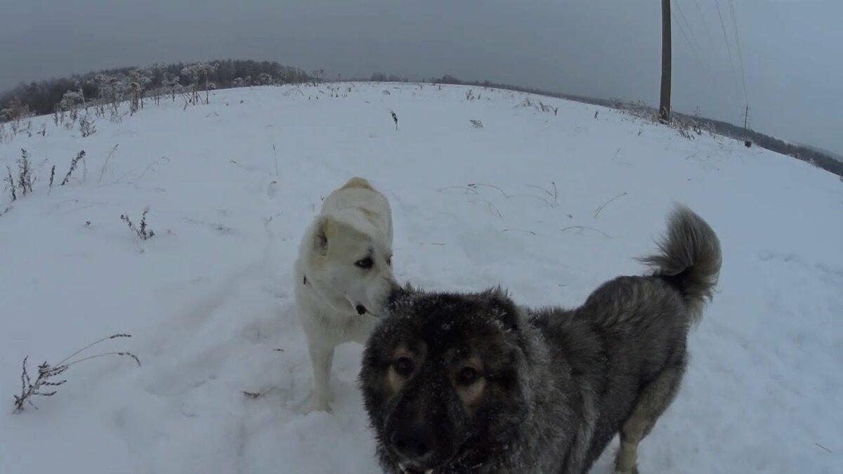 Фото черепа волка и алабая