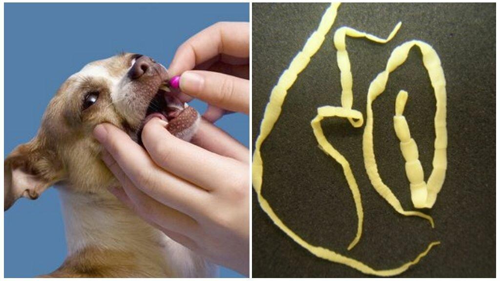 гельминты собак картинки пробую выражать мысли