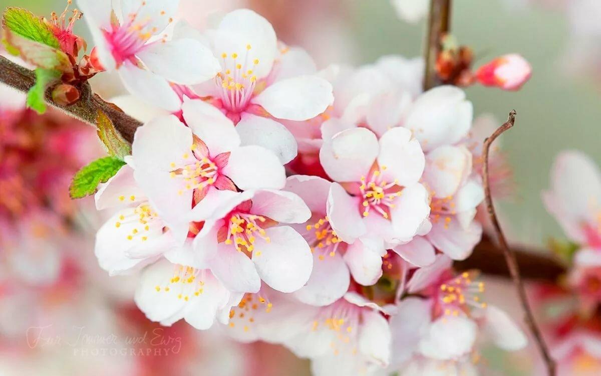 говорит, цветы вишни фото картинки смотрятся