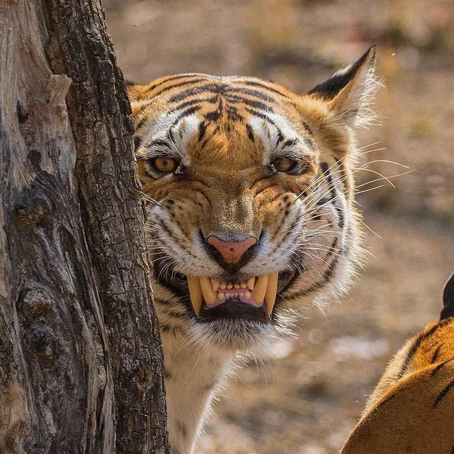 Надписями про, смешные картинки тигрицы