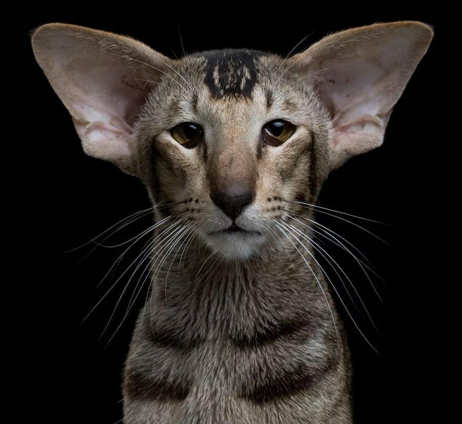 проверены порода котят с большими ушами фото зимним видам спорта