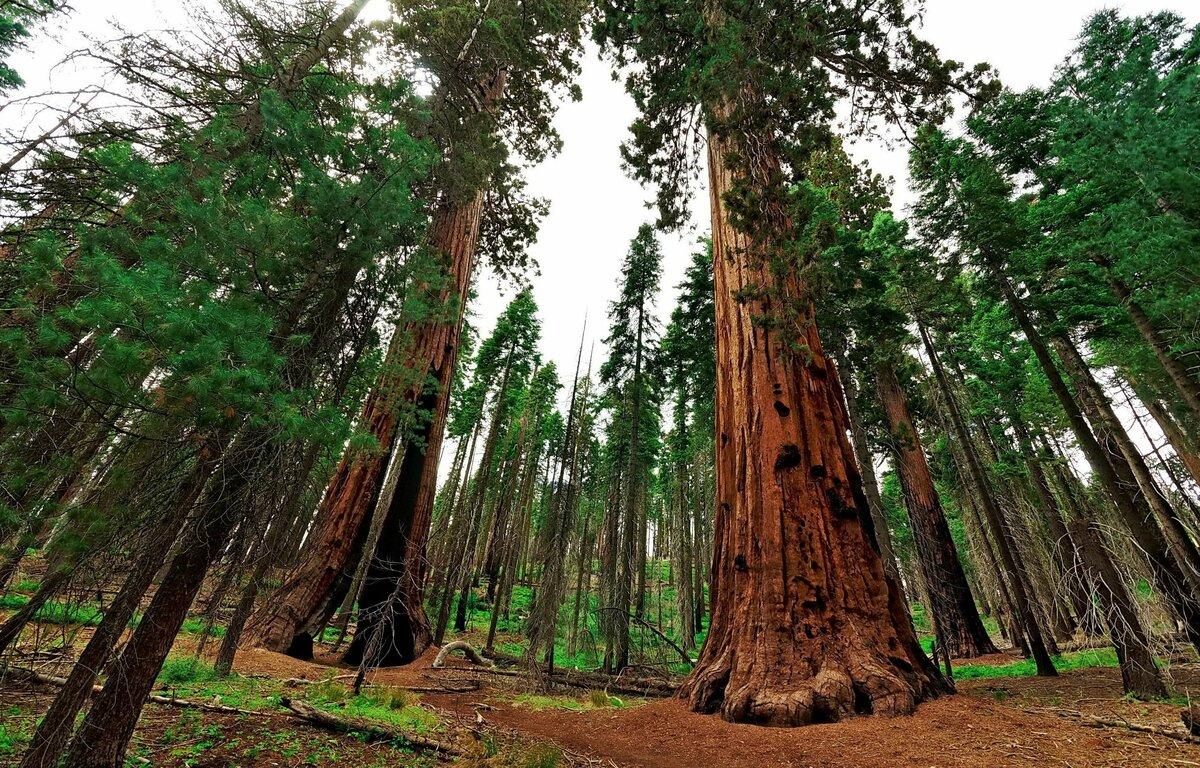 огромное дерево фото длительный срок