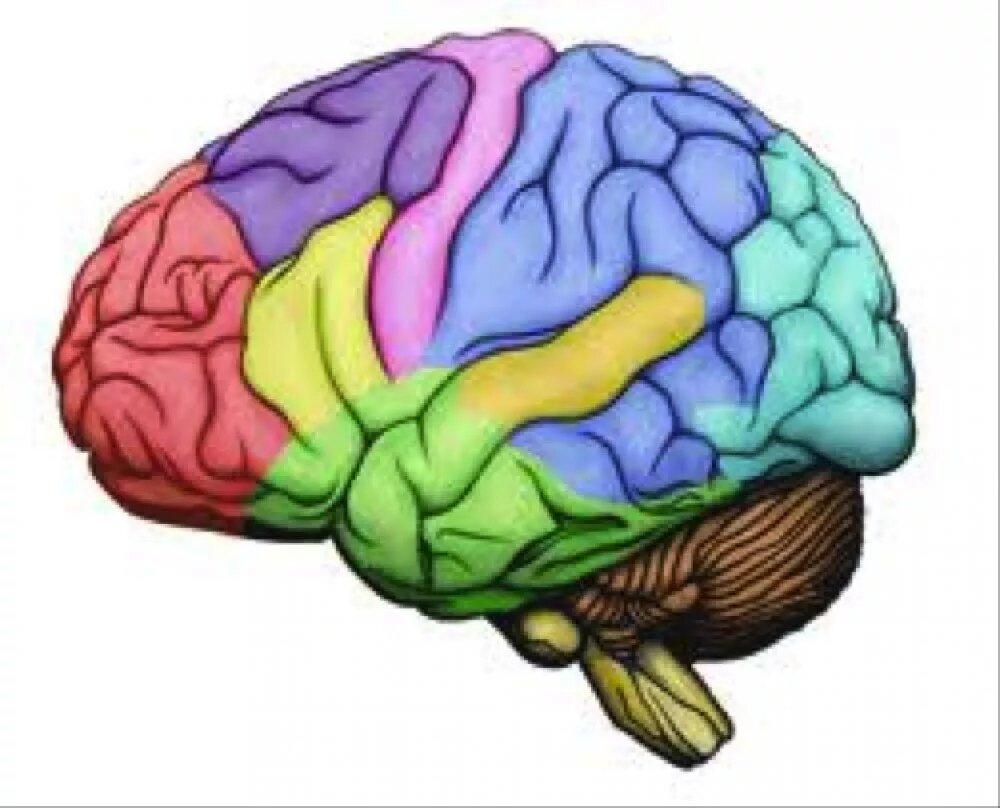 Картинки мозга для детей