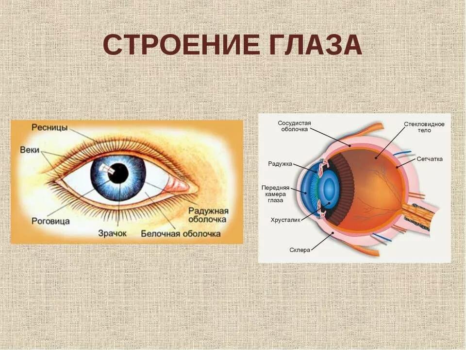 Схема строения глаза человека в хорошем качестве изготовления фпф