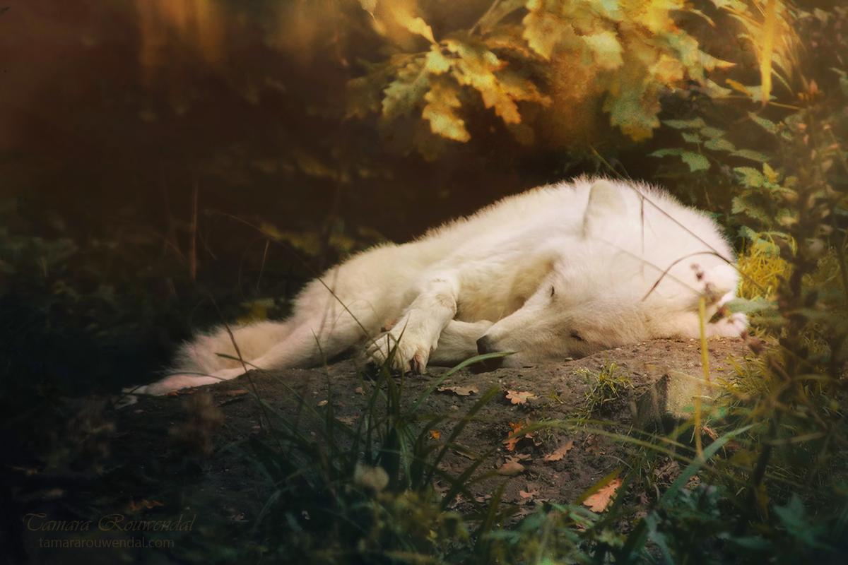 нашем картинки раненых волков для