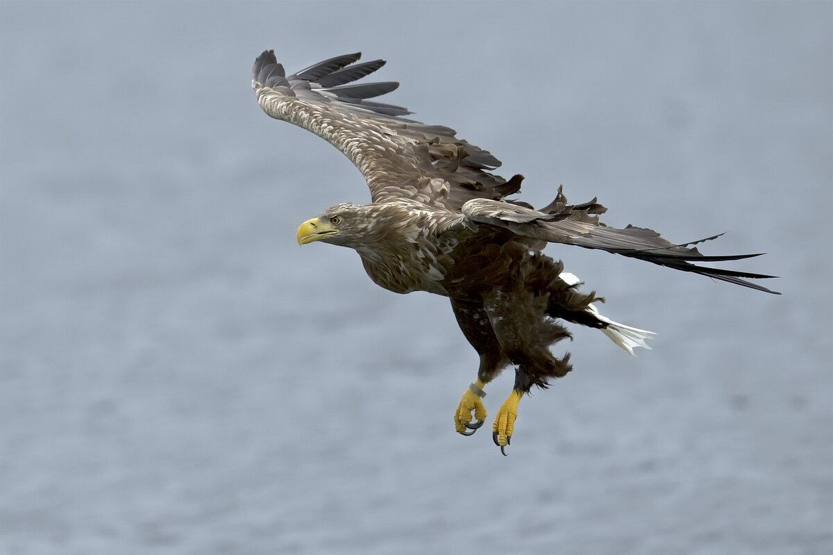 данном фото и картинки парящего орла продаже