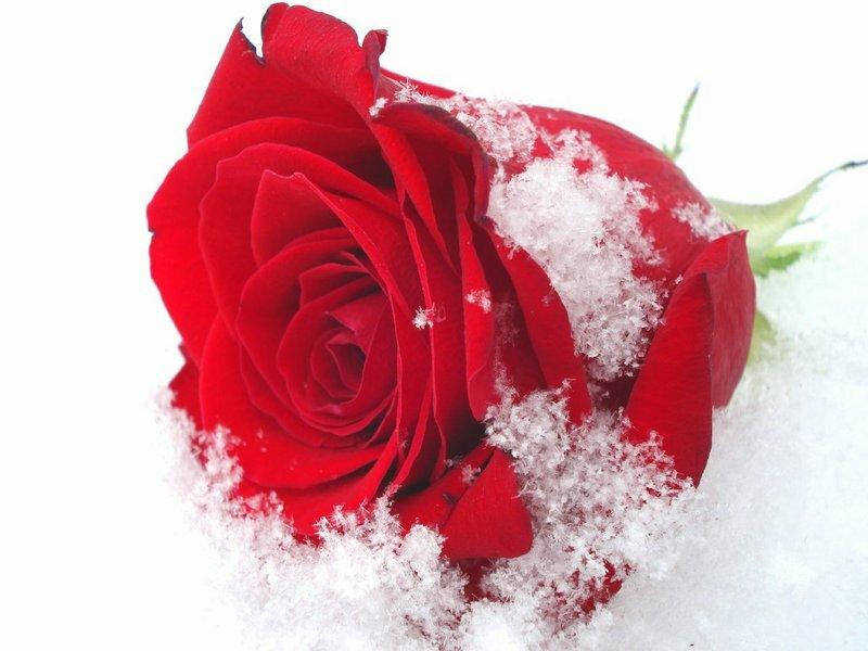 Открытка с белыми розами в татьянин день